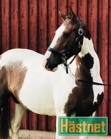 irländska hästar till salu